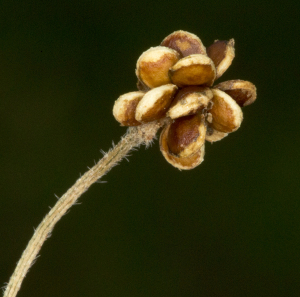 Seed-head of Bulbous Buttercup.