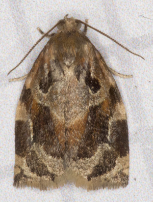 Variegated Golden Tortrix.