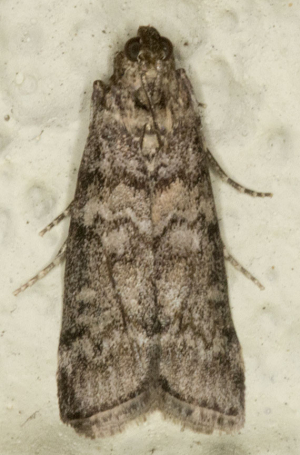 Unidentified micromoth.
