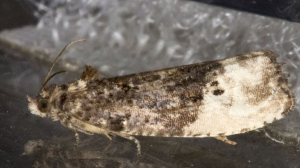 Marbled Orchard Tortrix.