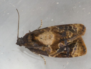 Red-barred Tortrix.