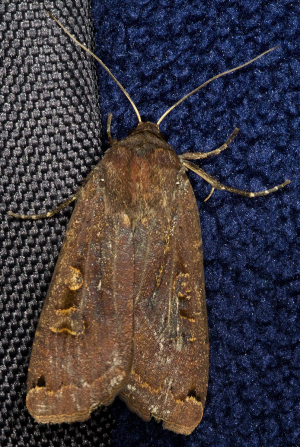Large Yellow Underwing.