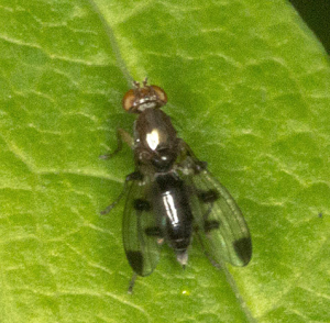 Picture-winged fly.