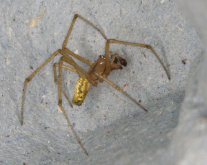 Unidentified spider.