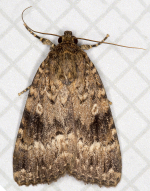 Svensson's Copper Underwing.