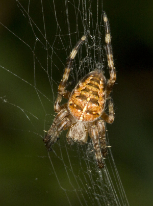 Spider in an orb web.