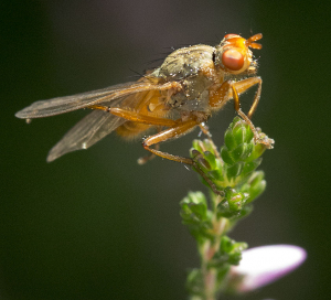 Dung Fly.
