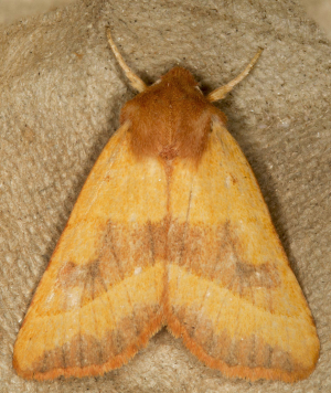 Centre-barred Sallow.