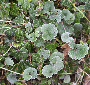 Frosty Ground Ivy.