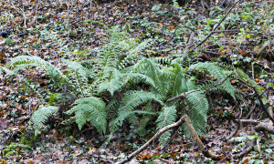 Soft Shield Fern.