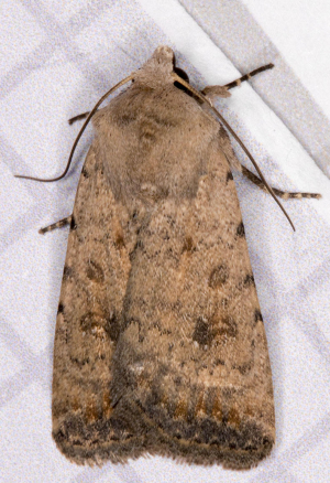Pale Mottled Willow.