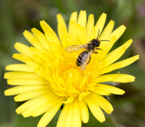 Dandelion with Andrena flavipes.