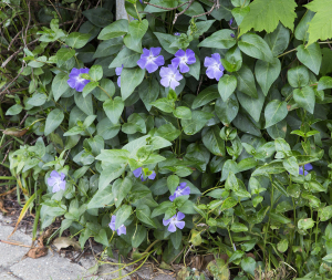 Greater Periwinkle.