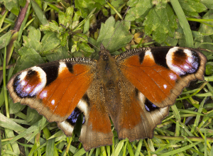 Peacock butterfly.