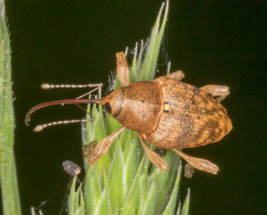 Weevil, Curculio species.