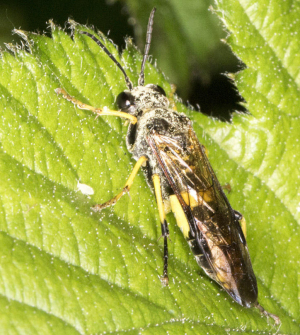 Sawfly on a Bramble leaf.