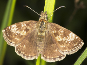 Dingy Skipper.