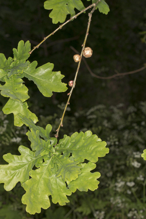 Oak Apples on Oak