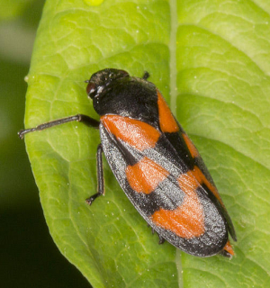 Black-and-red Froghopper.