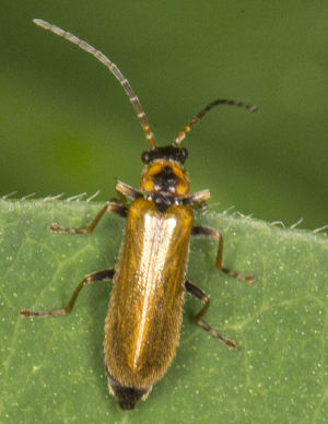Cantharis.