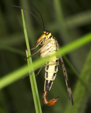 Male Scorpion Fly.