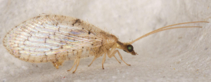 Common Brown Lacewing.