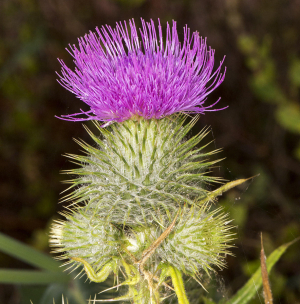 Spear Thistle.