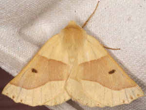 Scalloped Oak.