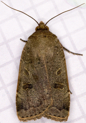 Lesser Yellow Underwing.