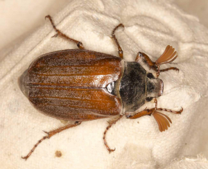 Cockchafer.