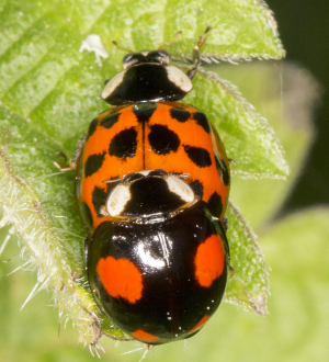 Harlequin Ladybirds mating.