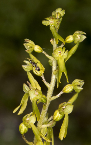 Common Twayblade.