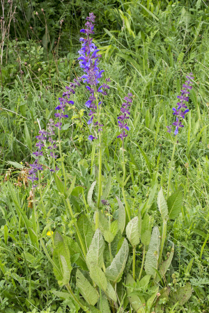 Meadow Clary.