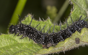 Larva of Peacock, Aglais io.