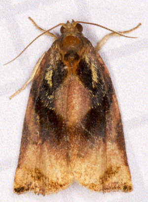 Large Fruit-tree Tortrix.