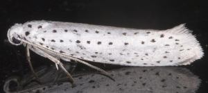 Bird-cherry Ermine.