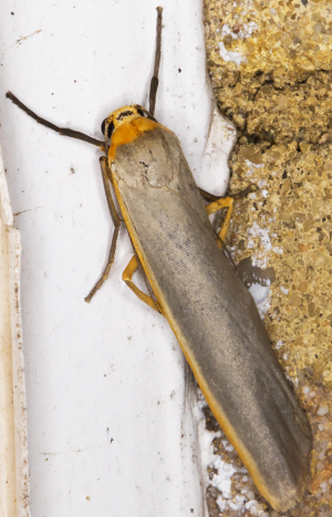 Scarce Footman.