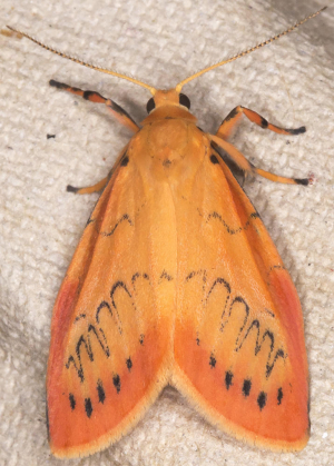 Rosy Footman.