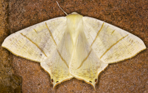 Swallow-tailed Moth.