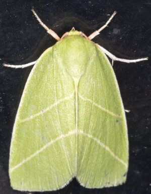 Scarce Silver-lines.