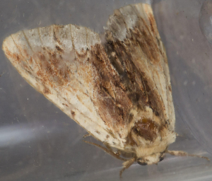 Maple Prominent.
