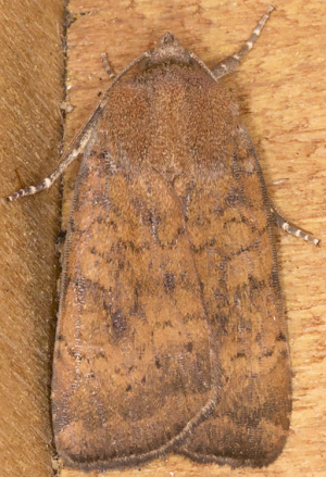 Least Yellow Underwing.