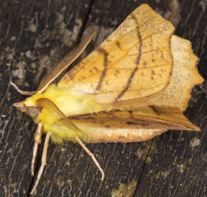 Canary-shouldered Thorn.