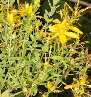 Perforate St John's Wort.