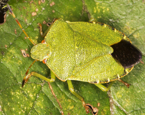 Common Green Shieldbug.