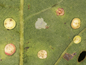 Smooth Spangle Galls, gall wasp Neuroterus albipes.