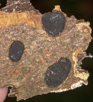Bark spot or tar crust.