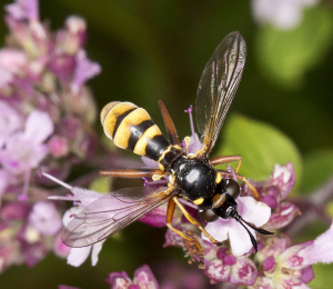 A wasp-like fly.