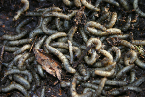 GRUBS UNDER LEAF LITTER