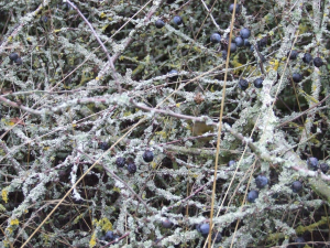 foliose lichen on a blackthorn tree